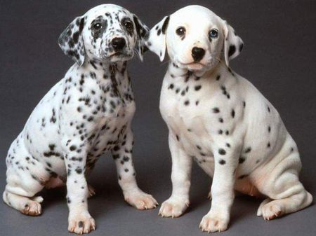 Dalmatian Puppies on Posted By Thinking Out Loud At 12 07 Pm