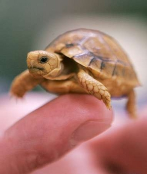 Baby turtles, while not naturally domestic, can make wonderful and ...
