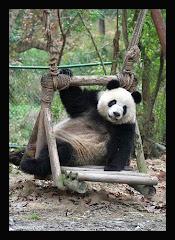 Chendu China Panda Base