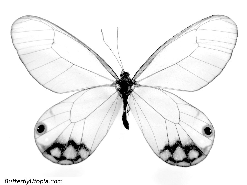 Advanced Butterfly Coloring Pages