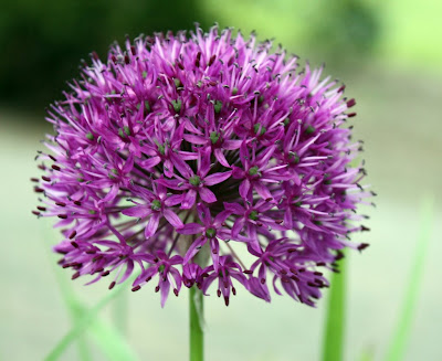 flower wallpapers. Allium Flower Wallpaper 4