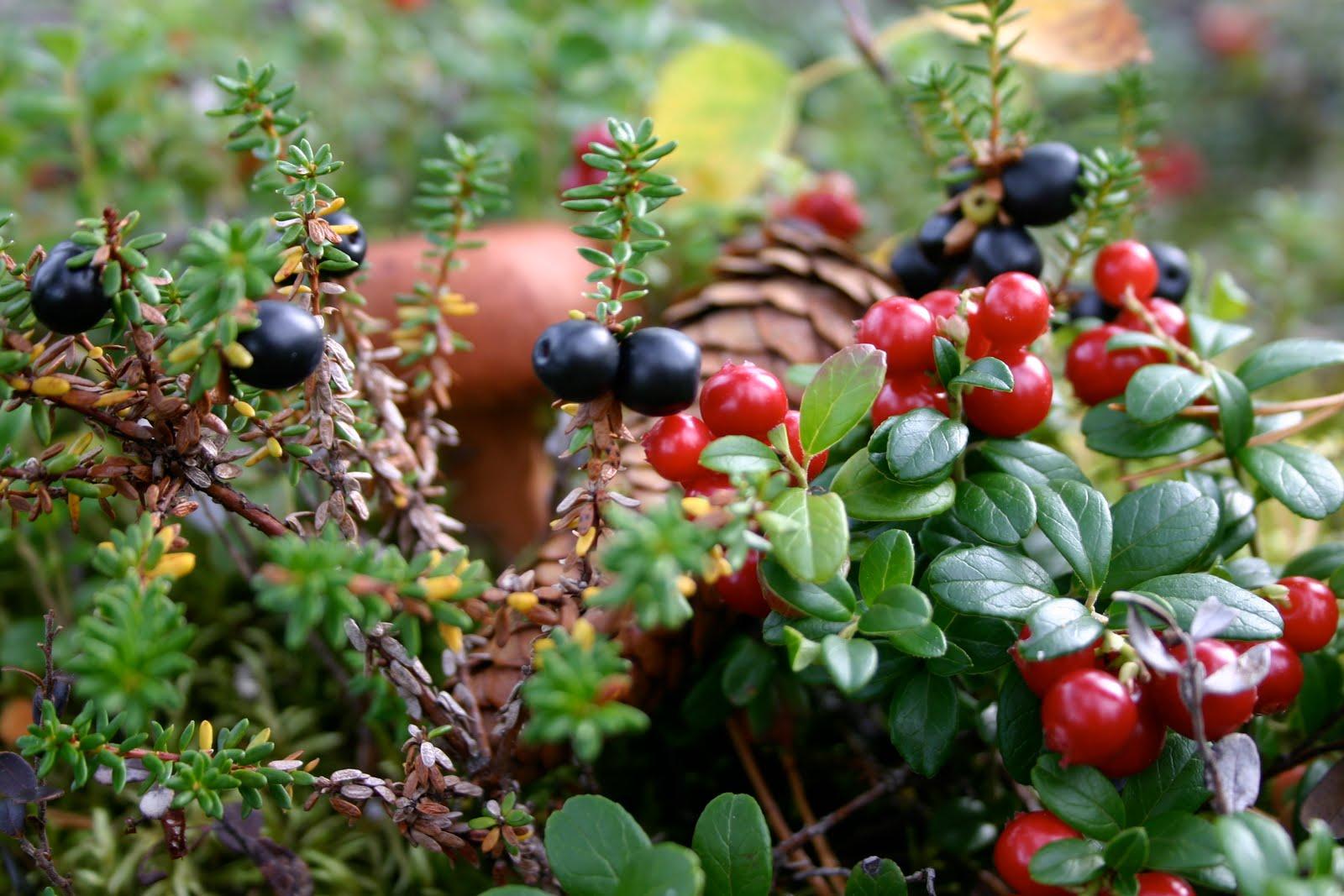 Il nostro nord del mondo nella foresta il sottobosco for Piante da sottobosco