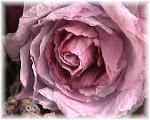 mijn papieren roos old purple