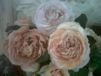 Des roses anciennes aux couleurs estompés