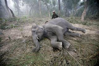 Polo con elefante