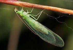 the pondplant girl 39 s blog how to kill aphids. Black Bedroom Furniture Sets. Home Design Ideas