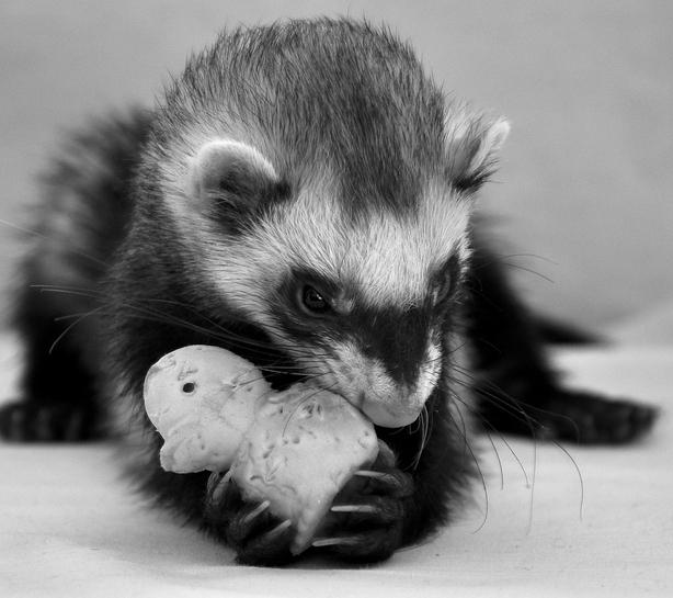gallery for gt cute ferrets