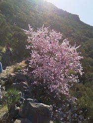 Route flowering almond tree