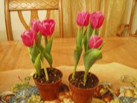 mis tulipanes bebe