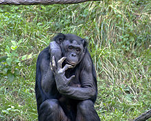 And wikipedia large ape sperm the work