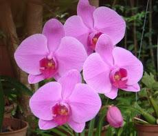 Orchid - Phalaenopsis 蝴蝶兰