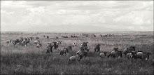 #9 - Wildebeest Migration, Tanzania