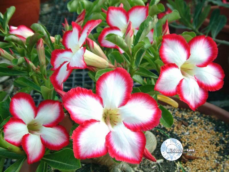 Комнатный цветок на букву о