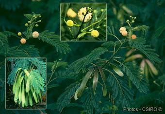 Lamtoro Plant
