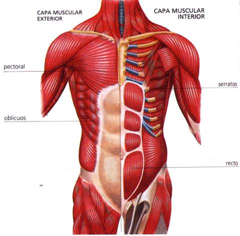 la anatomia humana: que es la anatomia