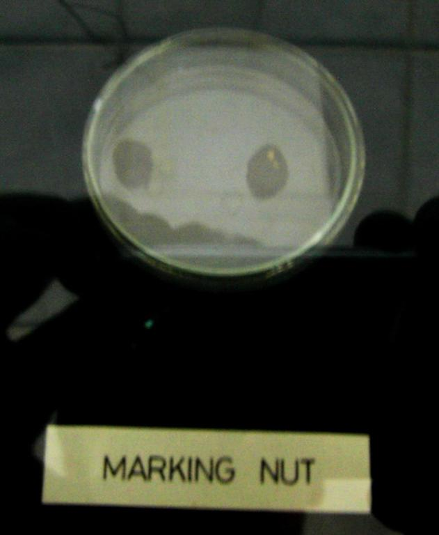 Forensic Medicine and Toxicology Database: marking nut - marking ...