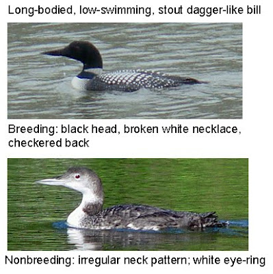 common loon facts. 2011 Common Loon wing flap