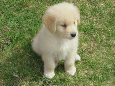Golden Retriever Puppies on Golden Retriever Puppy   Cute Pictures   Animal Photos