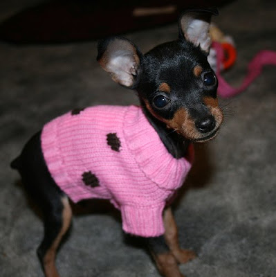 Fat+miniature+pinscher+puppy