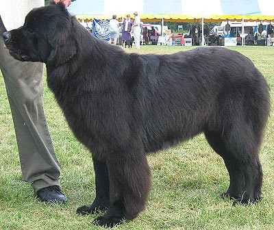 Newfoundland Breed | Cute Pictures | Animal Photos
