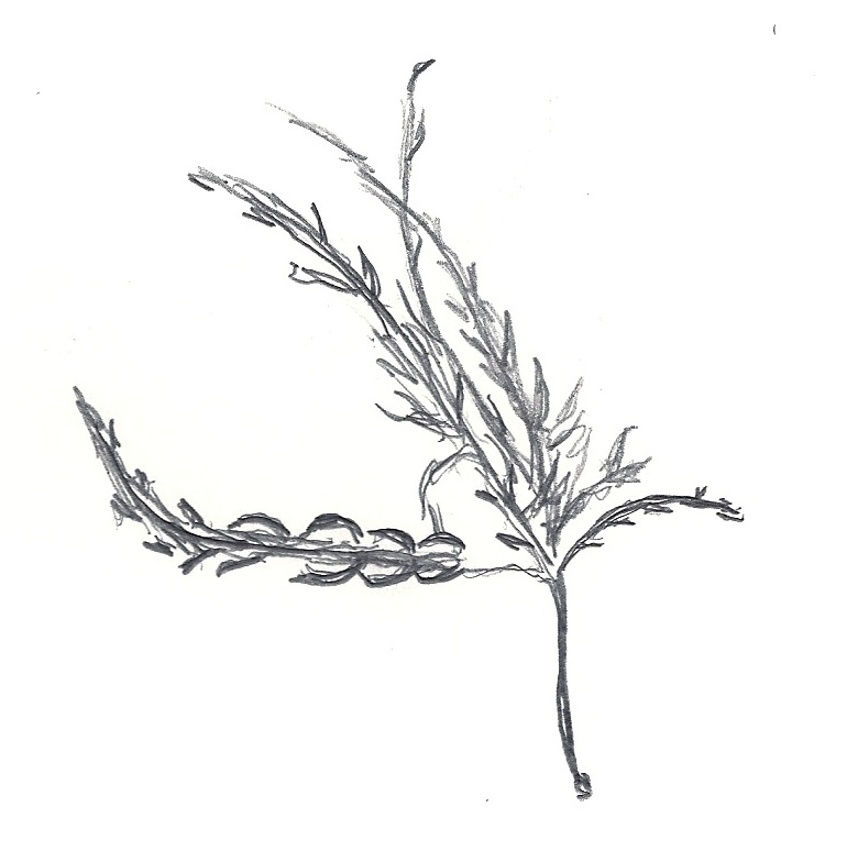 how to draw realistic seaweed