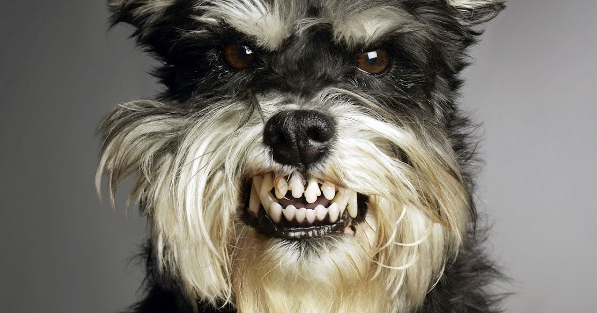 <b>Angry Dog</b> Barking by kataszynoviec on DeviantArt