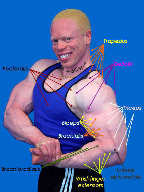 muscles of arm. muscles of arm. palpating arm