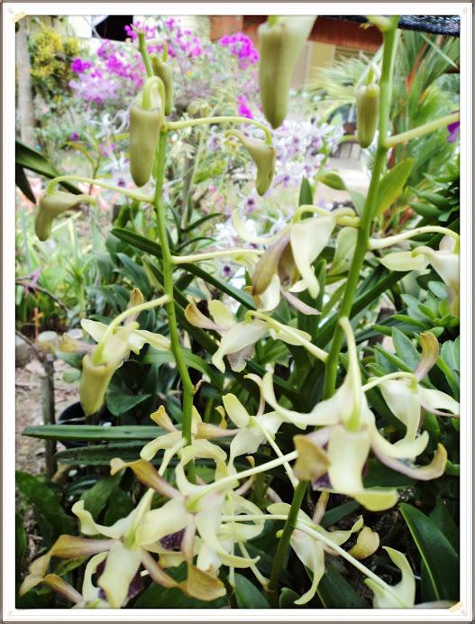 Dendrobium kerinting berbunga lagi