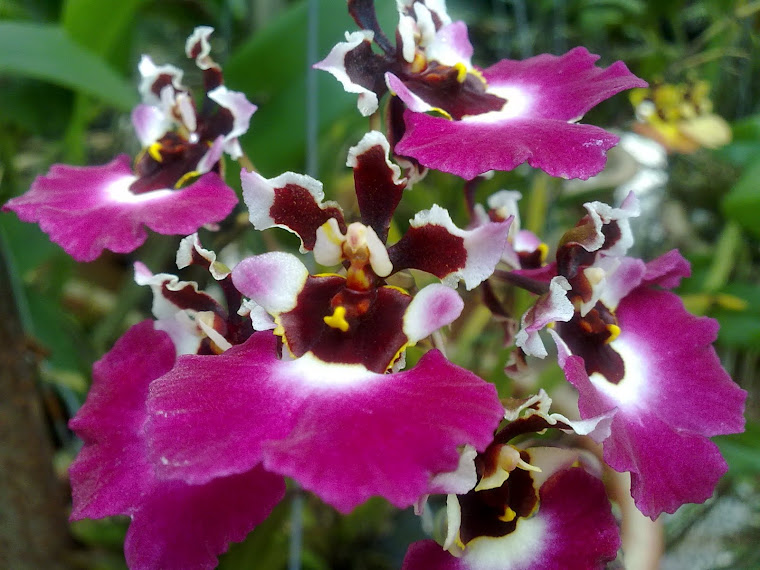 my oncidium orchid