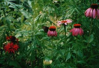 purple coneflowers (Echinecea purpurea) and bee balm (Monarda)