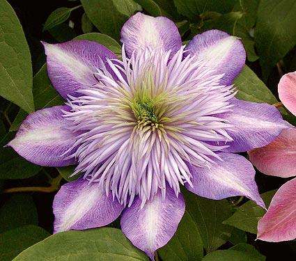 Clematis crystal fountain clematis crystal fountain taylors white flower farm clematis crystal fountain mightylinksfo