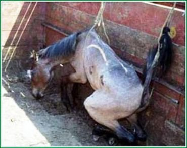 Horse slaughterhouses - photo#8