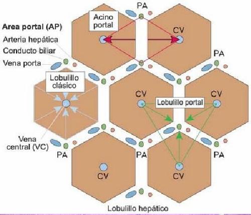 L Minas Histol Gicas De H Gado Microscopio Ptico