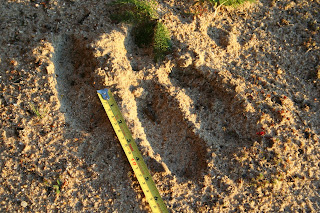 Moose Track Close-up, at Birch Lodge Trout Lake, MI