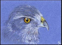 hawk drawn in coloured pencil copyright Jennifer Rose Phillip