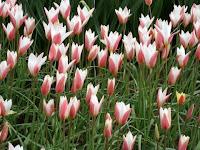 Pink tulips at Keukenhof Gardens in Amsterdam