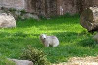 Flocke the bear at the zoo in Nuremberg