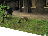 Fox in London Garden