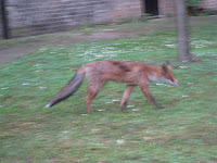 Fox in a garden in Hampstead London