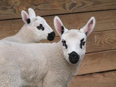 American Kerry Hill Lambs