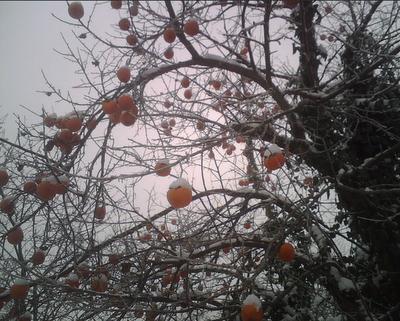 Nonhovalentina l 39 albero dei cachi di natale for Albero di cachi