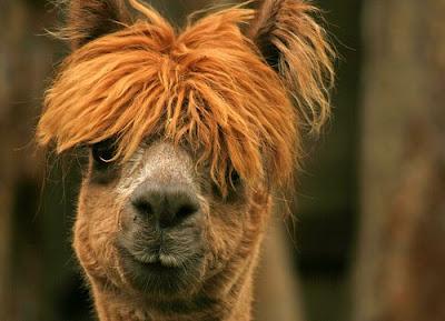 New Wave Alpacas Seen On www.coolpicturegallery.us