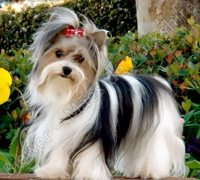 Saputnici – Priča o psima Biewer