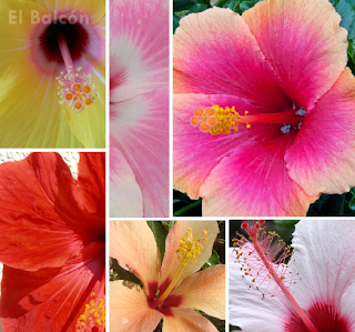 Hibisco, Rosa de China, Cardenales, Flor del beso, Pacífico