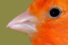 Anatomía del canario: las uñas y el pico