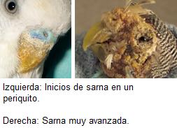 Sarna en el periquito, enfermedades periquitos