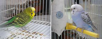 periquitos, criar periquitos, informacion sobre periquitos, Melopsittacus undulatus