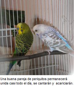 periquits cria, domesticar periquitos, adiestrar periquitos