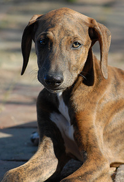 raza Azawakh, perro Azawakh, Azawakh, cuidados Azawakh, mascota Azawakh