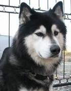 raza Alaskan Malamute, perro Alaskan Malamute, Alaskan Malamute, cuidados Alaskan Malamute, mascota Alaskan Malamute